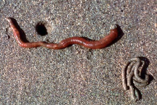 Lugworm European lugworm worm Britannicacom