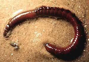 Lugworm Lugworms Arenicola marina MarineBioorg
