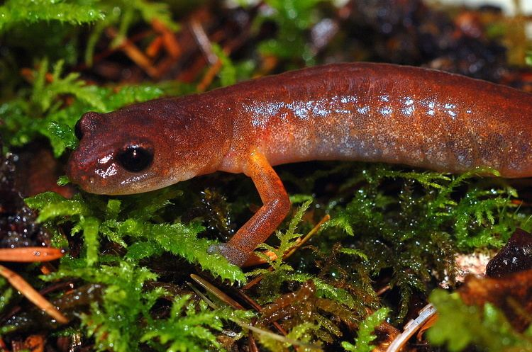 Lungless salamander The Lungless Salamander Ensatina eschscholtzii in Washington