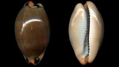 Luria lurida Cypraeidae pictures