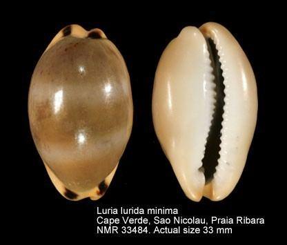 Luria lurida WoRMS Photogallery