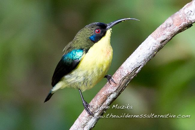 Luzon sunbird orientalbirdimagesorgimagesdataphilippines8jpg