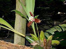 Lycaste xytriophora httpsuploadwikimediaorgwikipediacommonsthu
