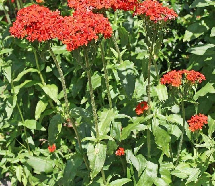 Lychnis chalcedonica Lychnis chalcedonica scarlet lychnis Go Botany