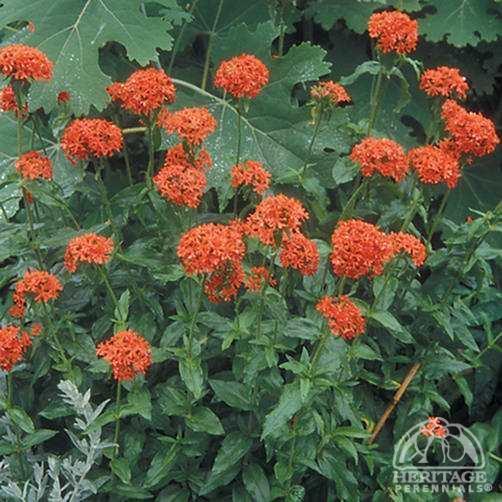 Lychnis chalcedonica Plant Profile for Lychnis chalcedonica Maltese Cross Perennial