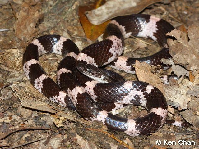 Lycodon Reptile of Hong Kong
