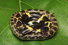 Lycodon laoensis httpsuploadwikimediaorgwikipediacommonsthu