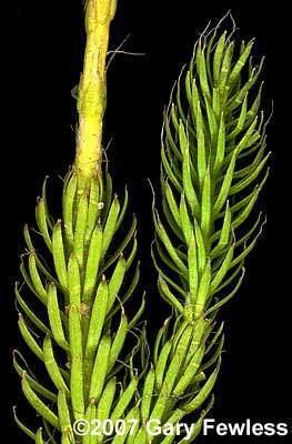 Lycopodium lagopus Pteridophytes of Wisconsin Lycopodium lagopus onecone clubmoss