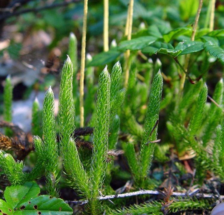 Lycopodium lagopus Lycopodium lagopus onecone clubmoss Go Botany