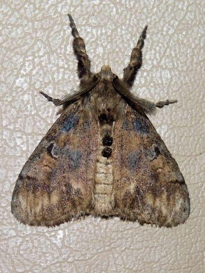 Lymantriinae bugguidenetimagesraw8HOHIH8HOHIHAH5HDH7HBHSL