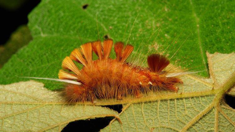 Lymantriinae Tussock Moth Caterpillar Lymantriinae Erebidae Pu39er Y Flickr
