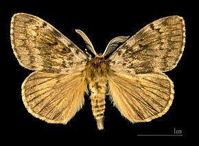 Lymantriinae Lymantriinae Wikipdia