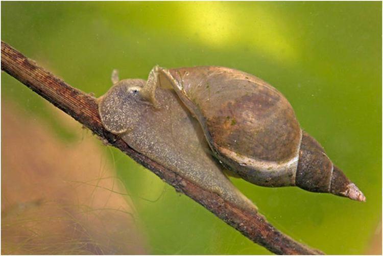 Lymnaea stagnalis Fact Sheet Lymnaeidae