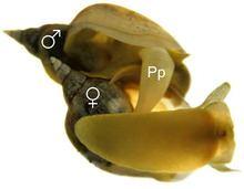 Lymnaea stagnalis httpsuploadwikimediaorgwikipediacommonsthu