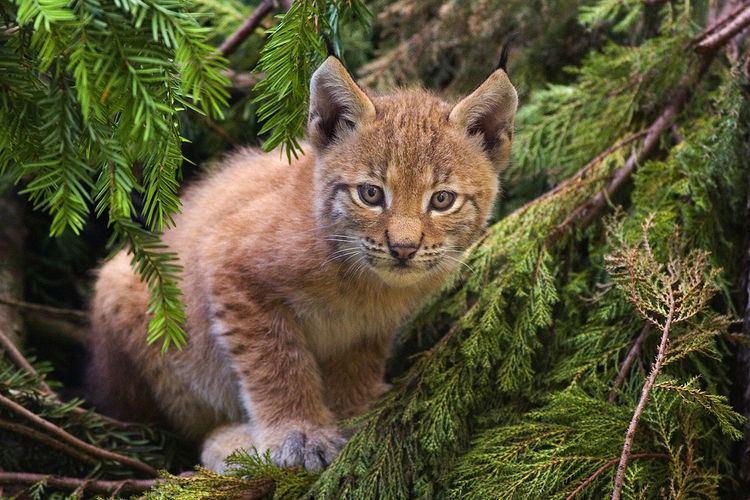 Lynx (mythology)