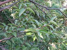 Lyonia ovalifolia httpsuploadwikimediaorgwikipediacommonsthu