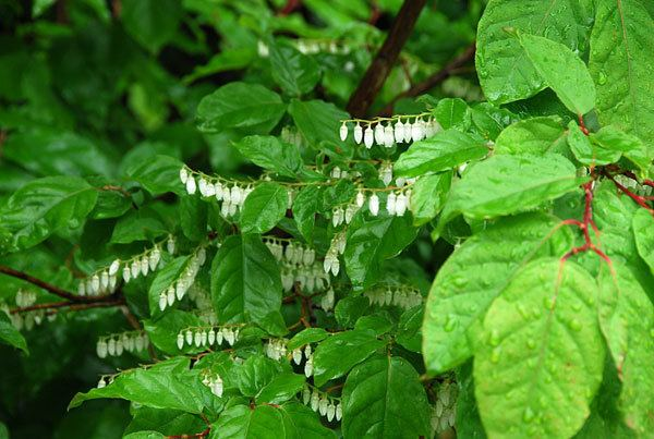 Lyonia ovalifolia Lyonia ovalifolia