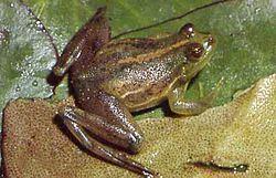 Lysapsus limellum httpsuploadwikimediaorgwikipediacommonsthu