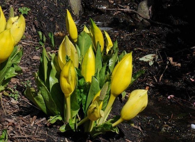 Lysichiton Yellow Skunk Cabbage Lysichiton americanus Biopix photoimage 68980