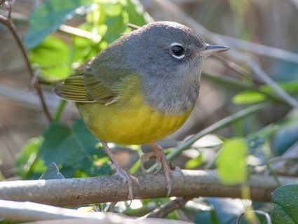 MacGillivray's warbler MacGillivray39s Warbler Identification All About Birds Cornell