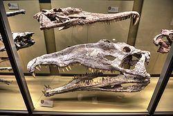 Machaeroprosopus Machaeroprosopus Wikipedia