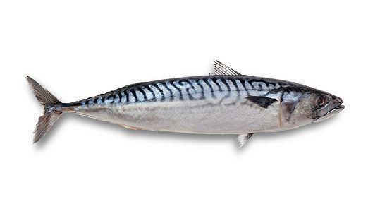 Mackerel Norpel Atlantic Herring and Mackerel Products