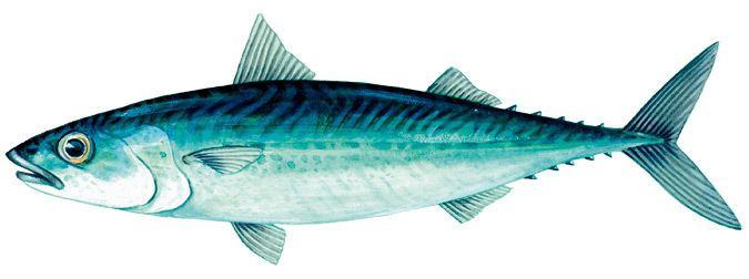 Mackerel Mackerel Marine and Estuarine Scale Fish Catch limits and closed