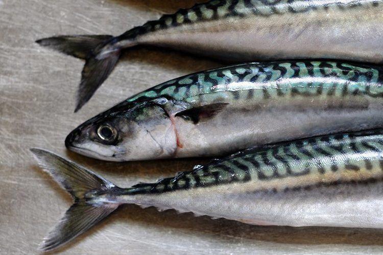 Mackerel 8 Amazing Mackerel Health Benefits New Health Advisor
