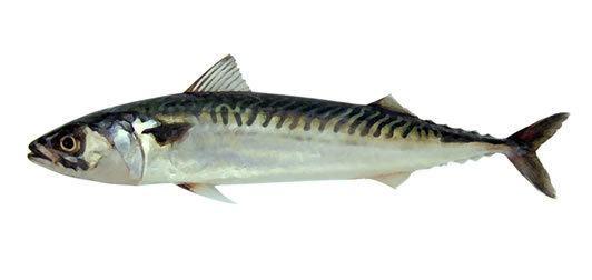 Mackerel Mackerel Marine Conservation Society