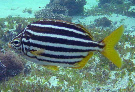 Mado (fish) httpsaustralianmuseumnetauUploadsImages123