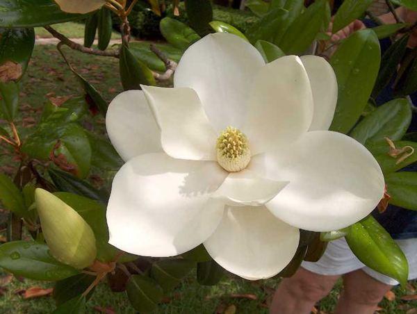 Magnolia Magnolias