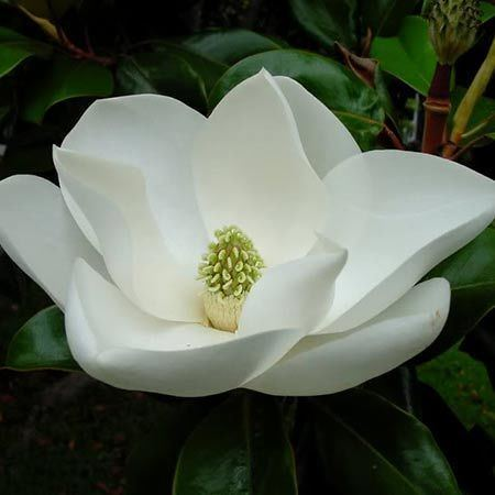 Magnolia Little Gem Magnolia for Sale Fast Growing Trees