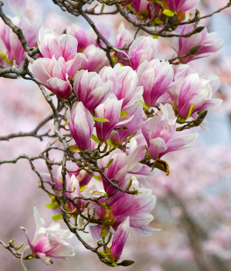 Magnolia Magnolia Squire39s Garden Centre