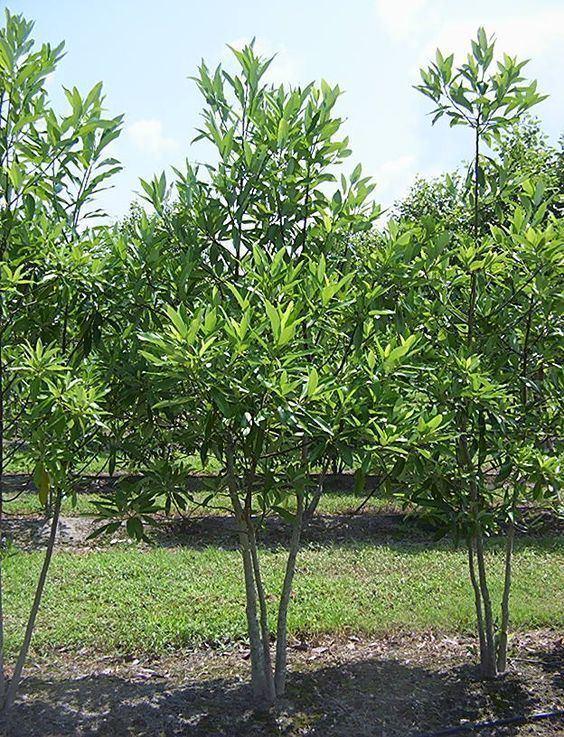 Magnolia virginiana httpssmediacacheak0pinimgcom564xec7ea5
