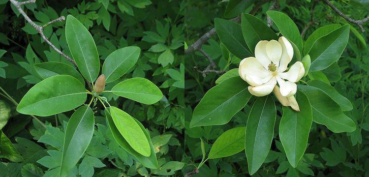 Magnolia virginiana Magnolia virginiana Wikipedia