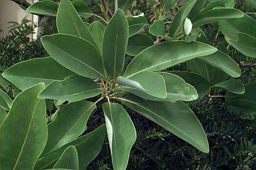 Magnolia virginiana Magnolia virginiana Sweetbay Magnolia Swamp Magnolia Plant