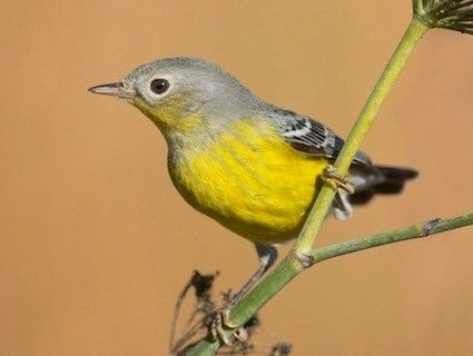 Magnolia warbler Magnolia Warbler Identification All About Birds Cornell Lab of