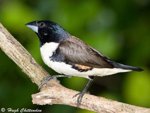 Magpie mannikin wwwbirdinfocozararebirdspics02magpiemannik