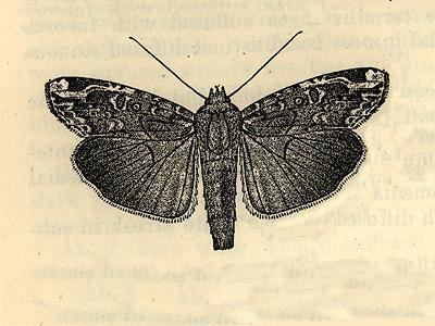 Magusa orbifera