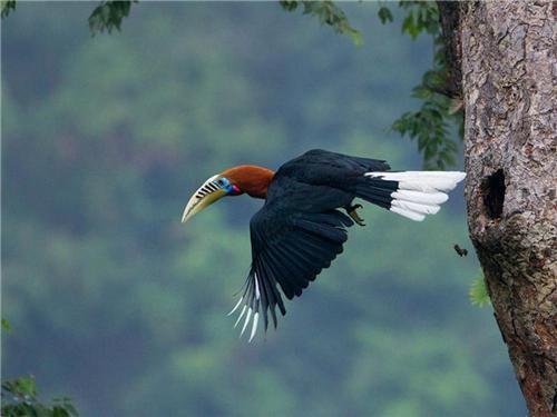 Mahananda Wildlife Sanctuary imhuntincgCityGuidemahanandahornbillJPEG
