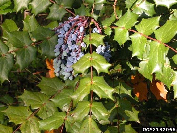 Mahonia bealei Plant Details Tennessee Invasive Plant Council