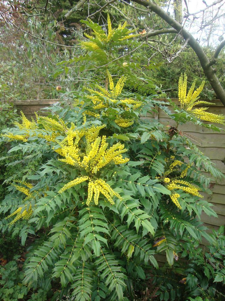 Mahonia japonica Mahonia Japonica Two Chances Veg Plot Blog