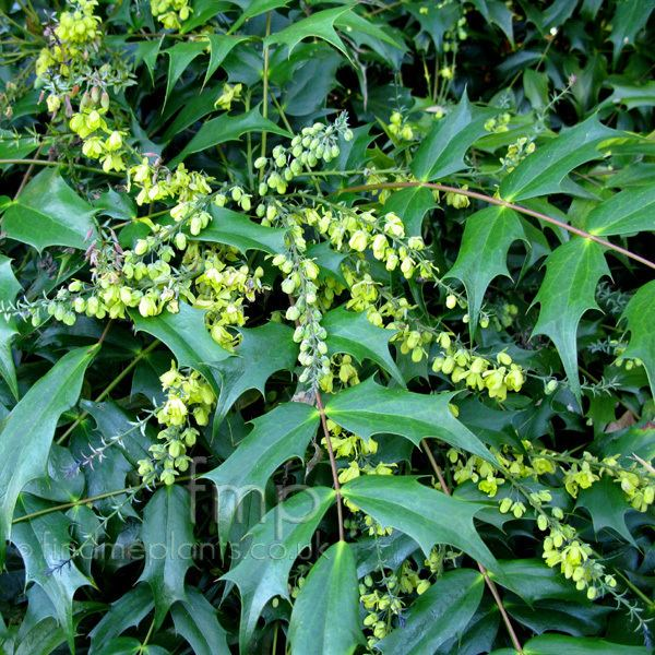 Mahonia japonica Mahonia japonica Mahonia Information Pictures amp Cultivation Tips