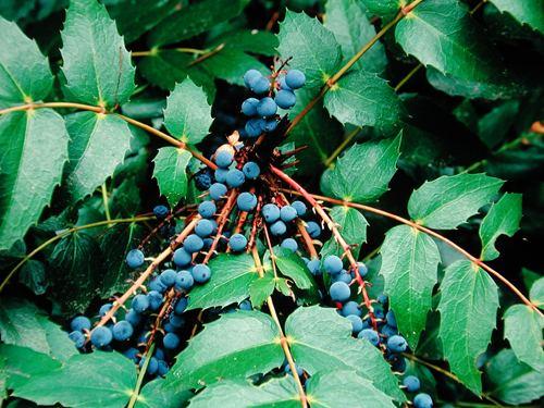 Mahonia nervosa View Plant Great Plant Picks