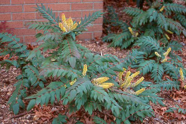 Mahonia nervosa Mahonia nervosa Landscape Plants Oregon State University