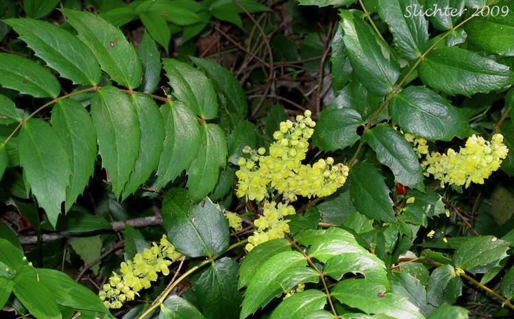 Mahonia nervosa Oregon Grape Cascade Oregongrape Dull Oregongrape Longleaved