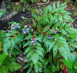 Mahonia nervosa Washington Native Plant Society Photograph of Mahonia nervosa