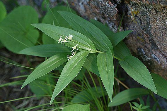 Maianthemum stellatum Maianthemum stellatum Colorado Wildflowers