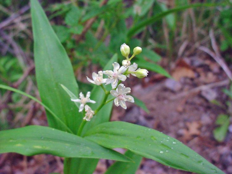 Maianthemum stellatum Vascular Plants of the Gila Wilderness Maianthemum stellatum