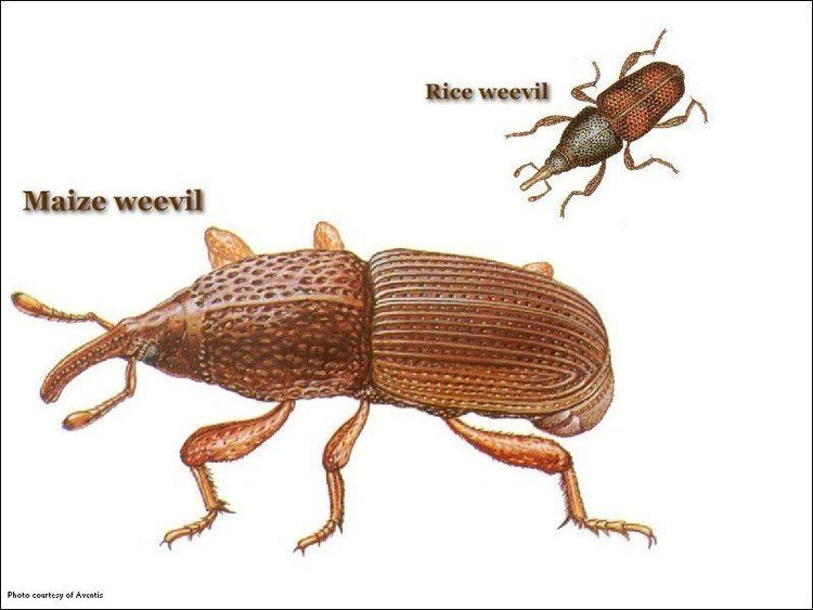 Maize weevil Common Stored Product Pests United Exterminating Company Cherry